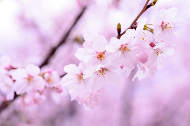 お花見で想起する…桜の下で雅に諳んじたい、桜にまつわる和歌
